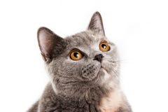 Gatito británico del gato Imágenes de archivo libres de regalías