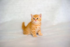 Gatito británico del gato atigrado Fotos de archivo libres de regalías