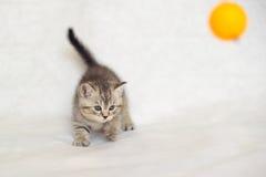 Gatito británico del gato atigrado del bebé rayado Imagen de archivo