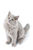 Gatito británico lindo aislado Imagen de archivo libre de regalías