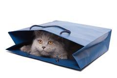 Gatito británico lindo en el bolso azul aislado Imagen de archivo libre de regalías