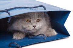 Gatito británico lindo en el bolso azul aislado Foto de archivo libre de regalías
