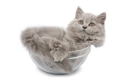 Gatito británico lindo en el tazón de fuente de cristal aislado Imágenes de archivo libres de regalías
