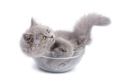 Gatito británico lindo en el tazón de fuente de cristal aislado Imagen de archivo