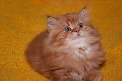 Gatito británico peludo con los ojos grandes Fotos de archivo