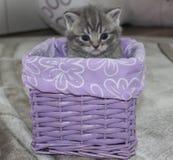 Gatito británico que se sienta en una cesta imagenes de archivo