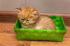 Gatito británico soñoliento imagen de archivo libre de regalías
