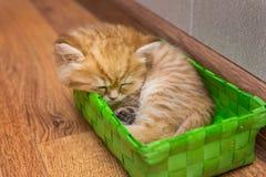 Gatito británico soñoliento fotografía de archivo libre de regalías