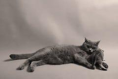 Gatito británico de Shorthair Fotos de archivo