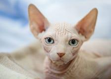 Gatito canadiense blanco de la esfinge con el primer del retrato de los ojos azules Fotografía de archivo