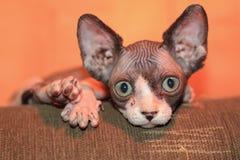 Gatito canadiense del sphynx fotografía de archivo