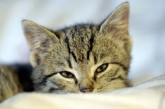 Gatito cansado Fotos de archivo