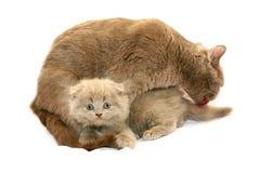 Gatito con el gato de la madre Imagen de archivo libre de regalías