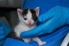 Gatito con la conjuntivitis holded en las manos de un veterinario imágenes de archivo libres de regalías