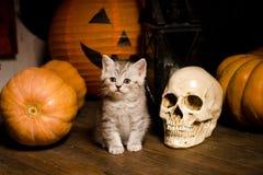 Gatito con las calabazas para Halloween Fotografía de archivo libre de regalías