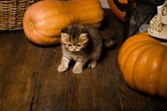 Gatito con las calabazas para Halloween Fotografía de archivo