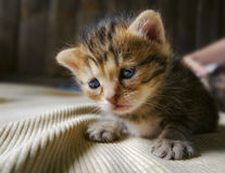 Gatito con los ojos azules Foto de archivo