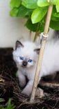 Gatito con los ojos azules Fotos de archivo libres de regalías