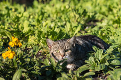 Gatito de acecho del Tabby Foto de archivo