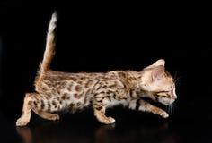 Gatito de Bengala que camina en fondo oscuro Imágenes de archivo libres de regalías