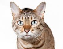 Gatito de Bengala que parece dado una sacudida eléctrica y el mirar fijamente Imagen de archivo