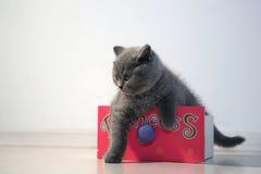 Gatito de británicos Shorthair Fotos de archivo
