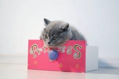 Gatito de británicos Shorthair Foto de archivo