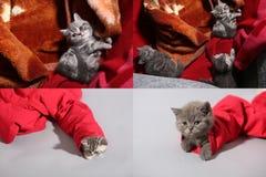 Gatito de británicos Shorthair en un bolso y en un par de vaqueros rojos, rejilla de la rejilla 2x2 Fotografía de archivo libre de regalías