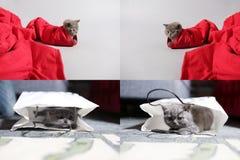 Gatito de británicos Shorthair en un bolso y en un par de vaqueros rojos, rejilla de la rejilla 2x2 Foto de archivo libre de regalías