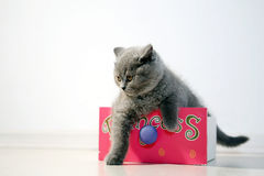Gatito de británicos Shorthair en un cajón Fotografía de archivo