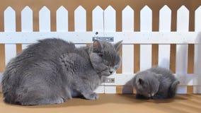 Gatito de británicos Shorthair y gato de la madre cerca de una cerca almacen de metraje de vídeo