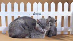 Gatito de británicos Shorthair y gato de la madre cerca de una cerca almacen de video