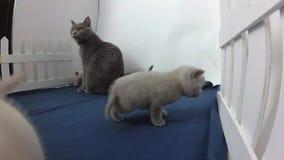 Gatito de británicos Shorthair y gato de la madre cerca de una cerca