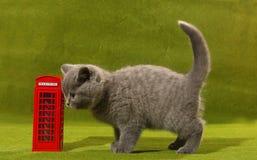 Gatito de británicos Shorthair y una cabina de teléfono imagenes de archivo