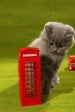 Gatito de británicos Shorthair y una cabina de teléfono imágenes de archivo libres de regalías