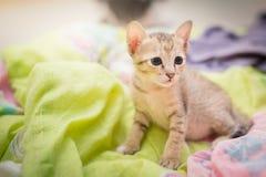 Gatito de Brown Imagen de archivo libre de regalías