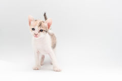 Gatito de Brown foto de archivo