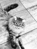 Gatito de Brown de la raza siberiana Fotografía de archivo libre de regalías