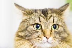 Gatito de Brown, tipo hermoso de raza siberiana Foto de archivo libre de regalías