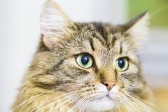 Gatito de Brown, tipo hermoso de raza siberiana Fotografía de archivo