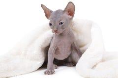 Gatito de Don Sphinx Fotografía de archivo libre de regalías