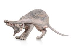 Gatito de Don Sphynx Imagen de archivo libre de regalías
