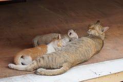 Gatito de la alimentación de Cat Mother Foto de archivo