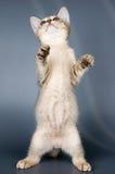 Gatito de la casta abisinia foto de archivo