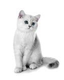 Gatito de la casta británica. Fotografía de archivo