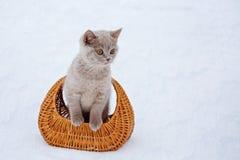 gatito de la Ceniza-crema en una cesta Foto de archivo