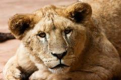 Gatito de la leona Fotografía de archivo
