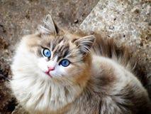 Gatito de los ojos azules Imágenes de archivo libres de regalías