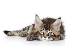 Gatito de Maine Coon Foto de archivo libre de regalías