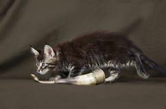 Gatito de Maine Coon Foto de archivo